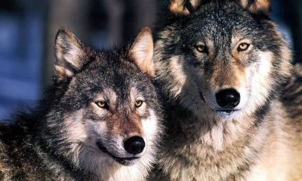 Dos lobos